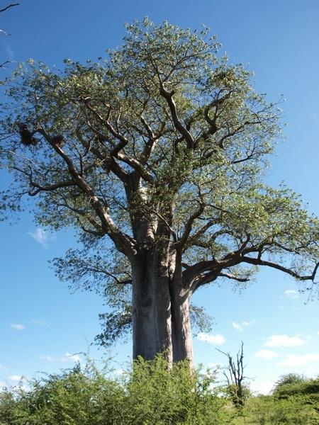 Baobab tree, Makgadikgadi Pans, Gweta