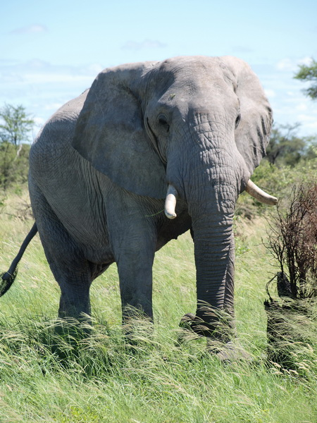 Elephant on the way to Maun