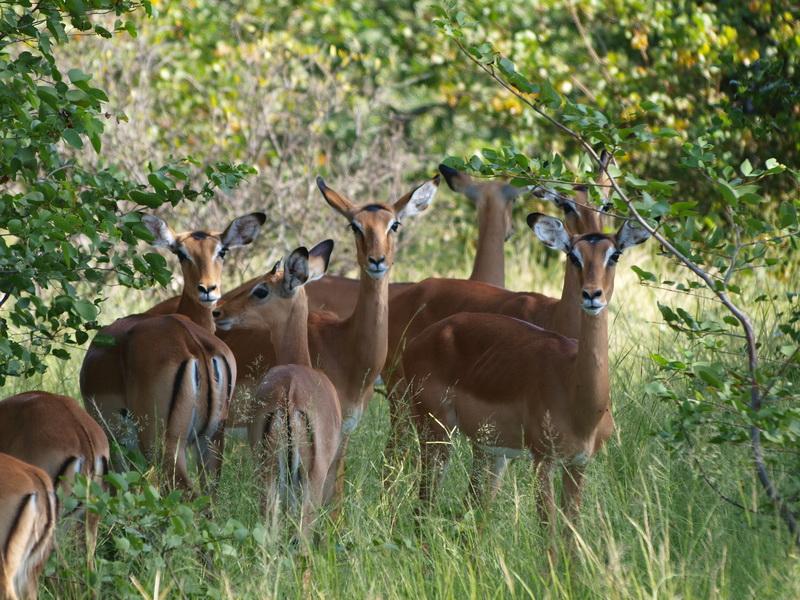 Impala, Moremi Game Reserve