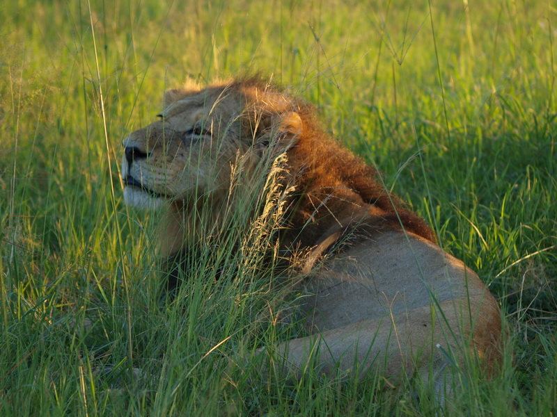 Lion, Moremi Game Reserve