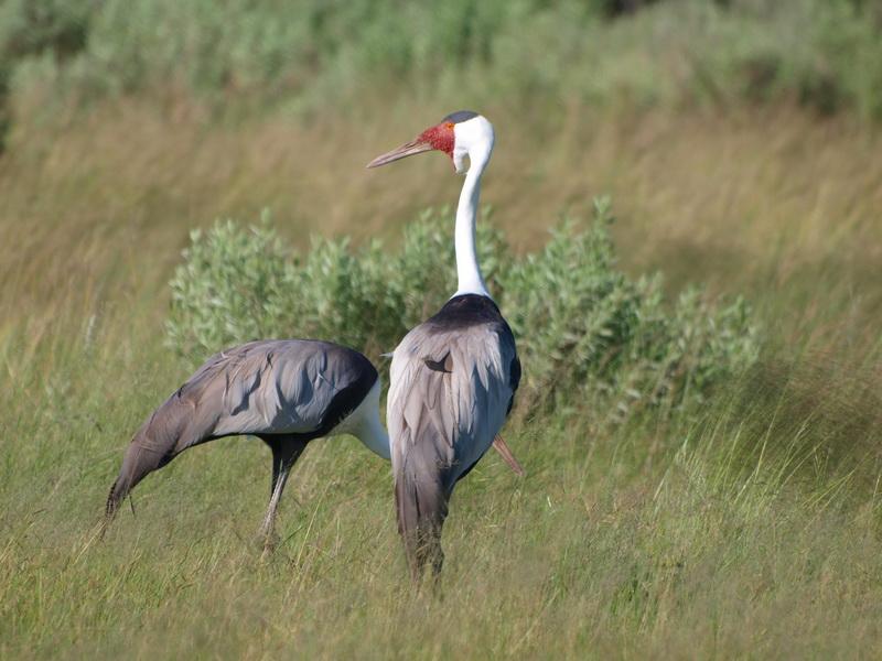 Wattle Crane, Moremi Game Reserve