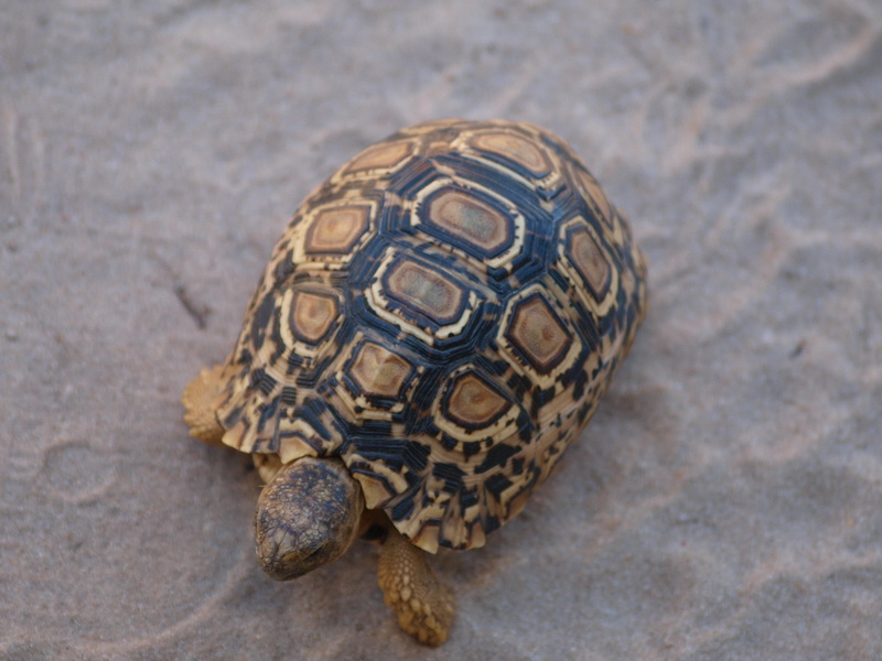 Leopard tortoise, Moremi Game Reserve