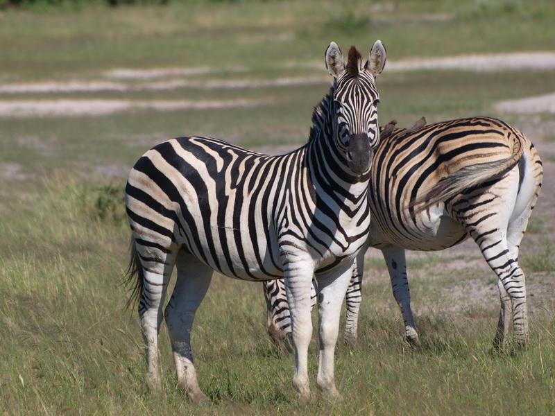 Zebra, Kwhai community trust