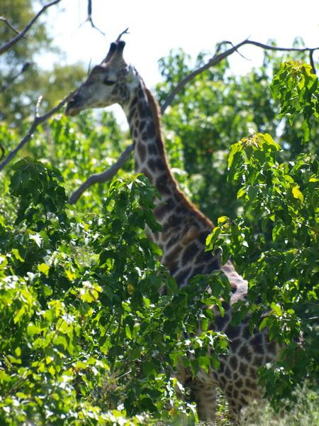 Giraffe, Kwhai community trust