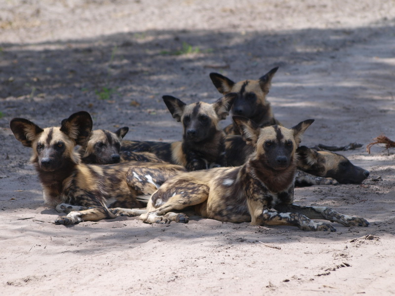 African wild dogs, Chobe National Park