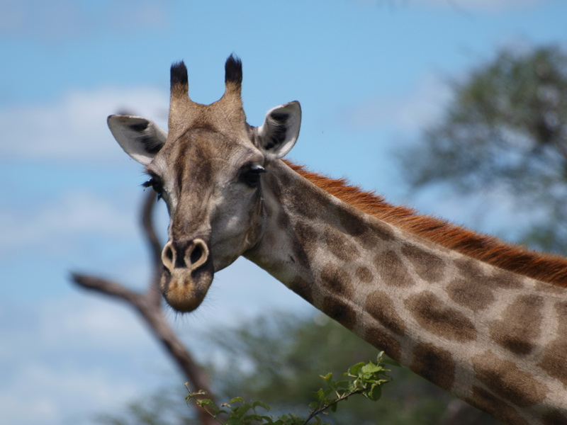 Giraffe, Chobe National Park
