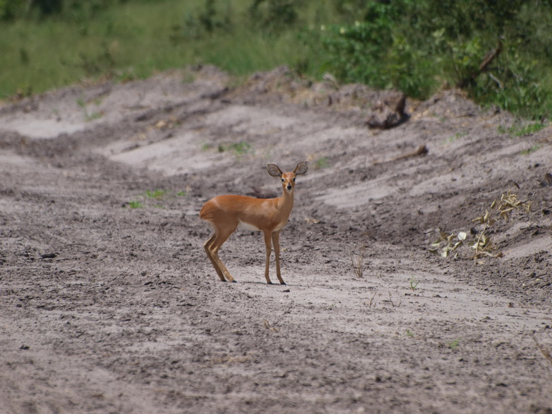 Steenbok, Chobe National Park