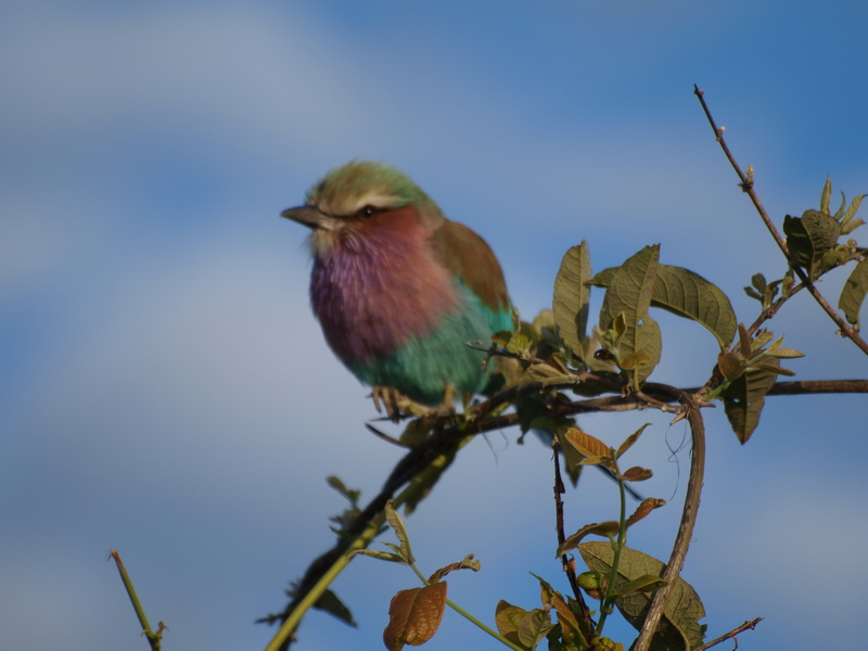Lilac Breasted Roller, Savuti
