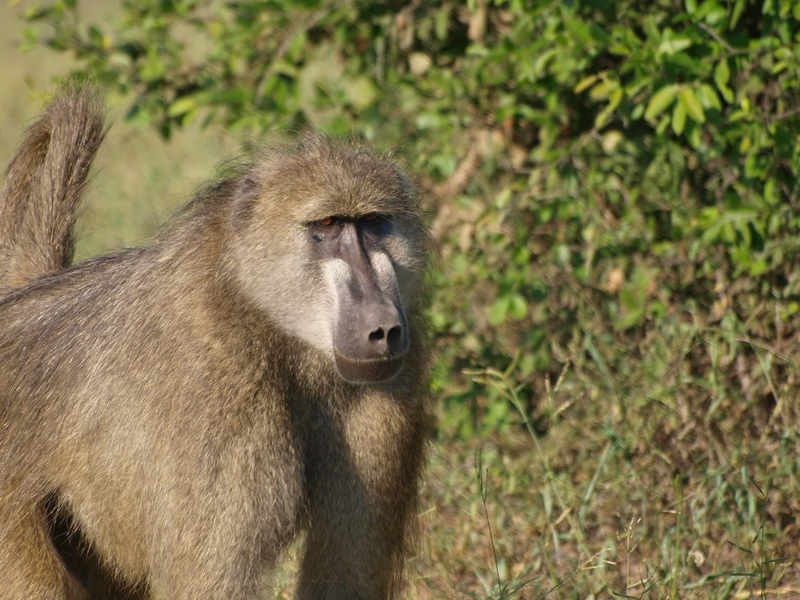 Baboon, Chobe National Park