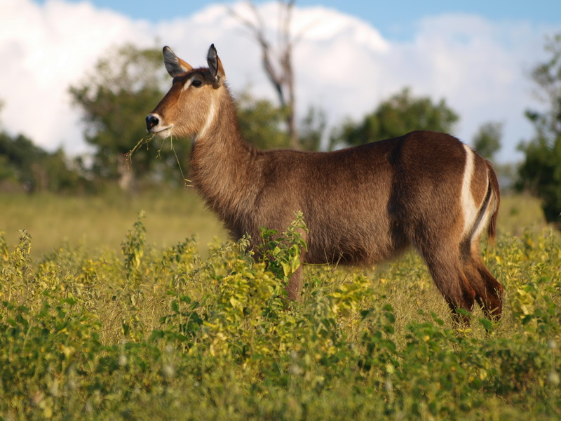 Waterbuck, Chobe National Park