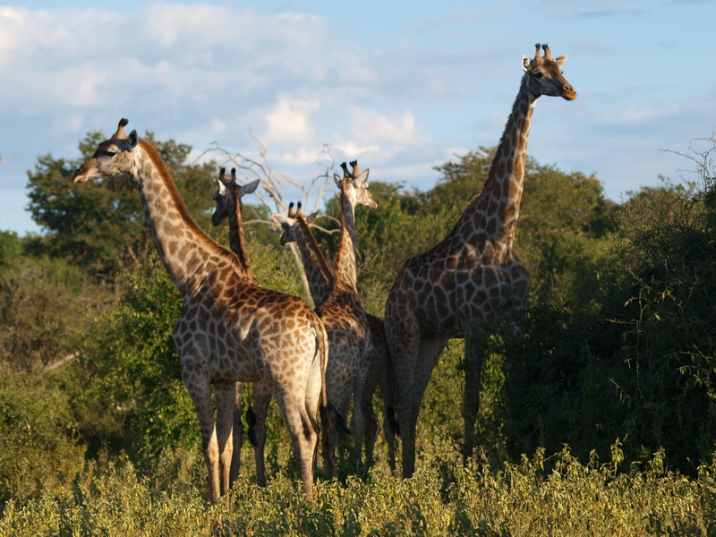 Giraffes, Chobe National Park