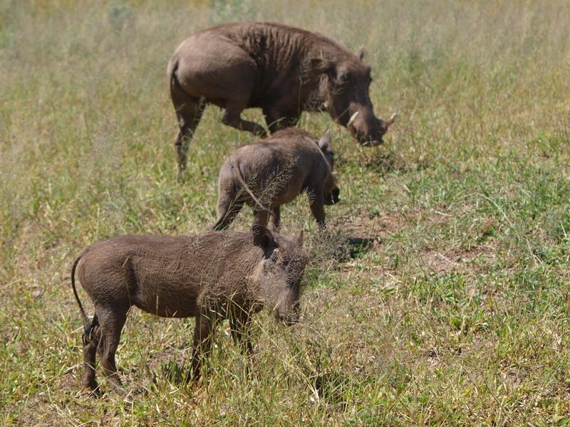 Warthogs, Chobe National Park