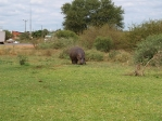 Hippo at the service station