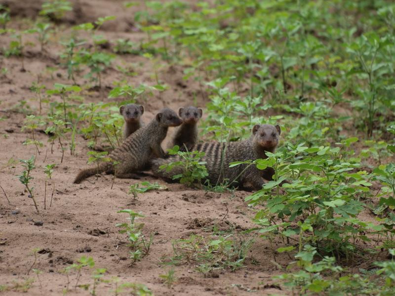 Banded Mongoose, Chobe