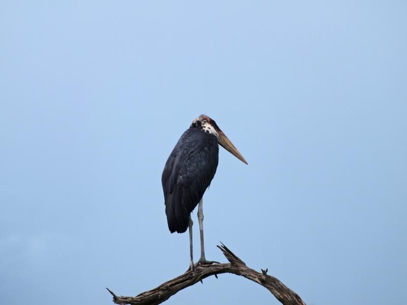 Stork, Chobe
