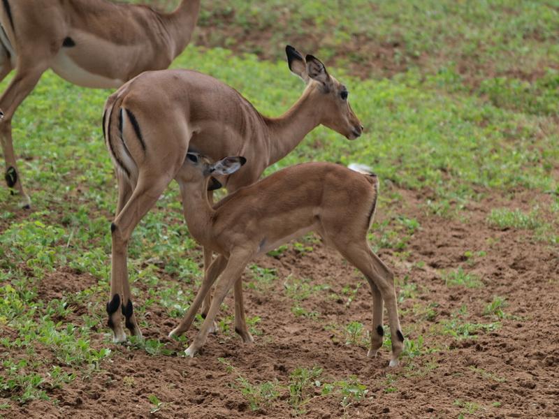 Impala, Chobe