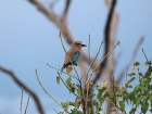 Lilac Breasted Roller, Chobe