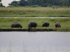 Hippos, Chobe