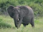 Elephant, Chobe