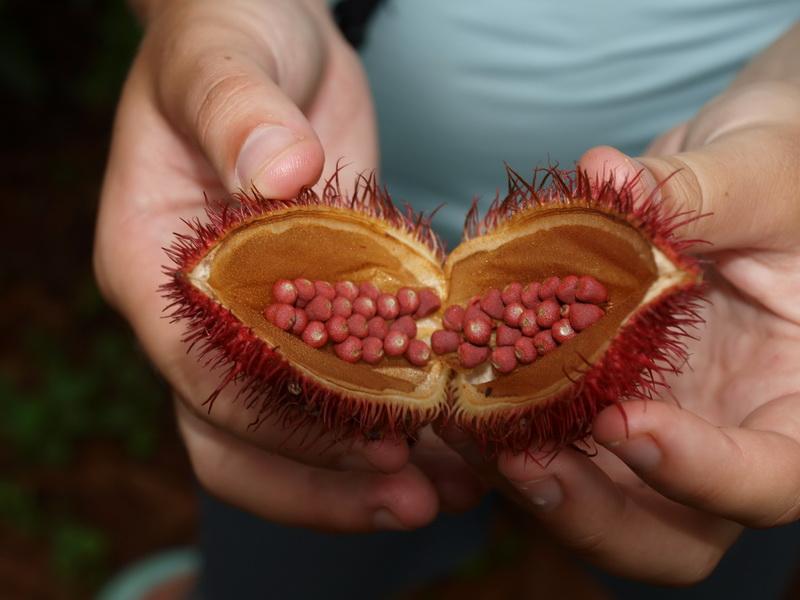 Lipstick plant, Butterfly Spice Farm, Zanzibar