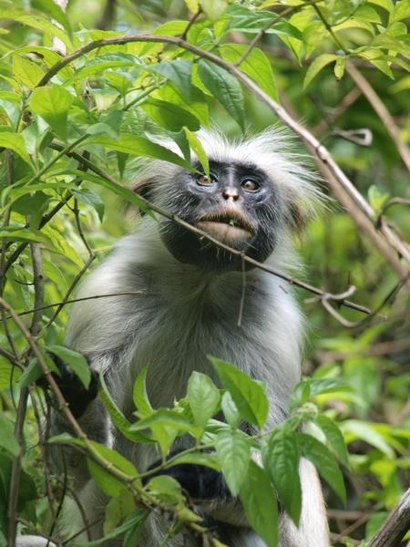 Colobus monkey, Jozani Forest, Zanzibar