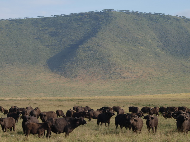 Buffalo, Ngorongoro Crater