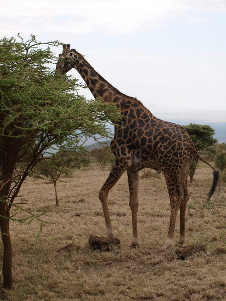 Giraffe on the way to the Serengeti