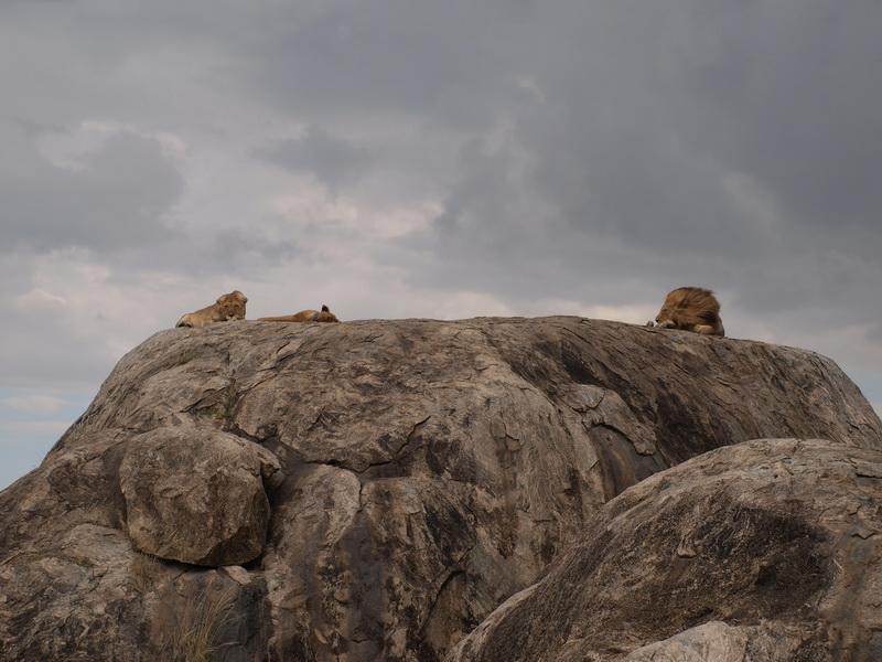 Lions, Serengeti