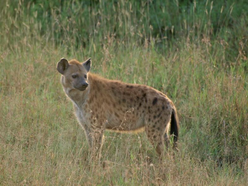 Spotted Hyena, Serengeti