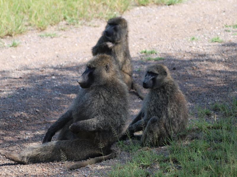 Baboons, Serengeti