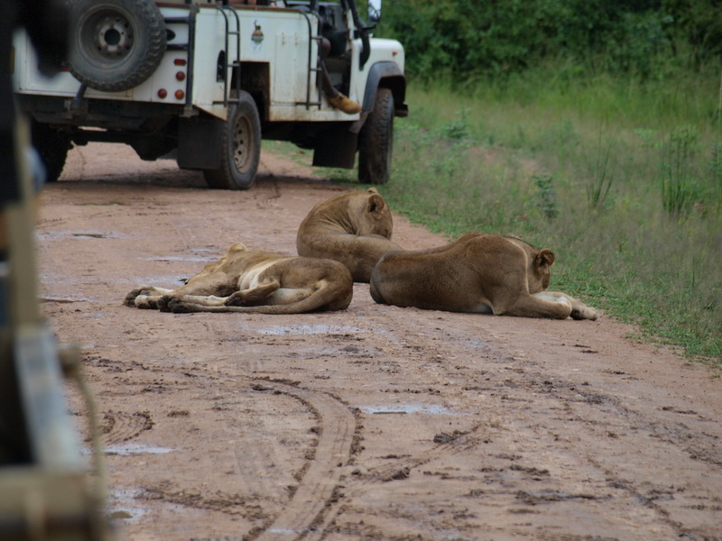 Lions, South Luangwa National Park