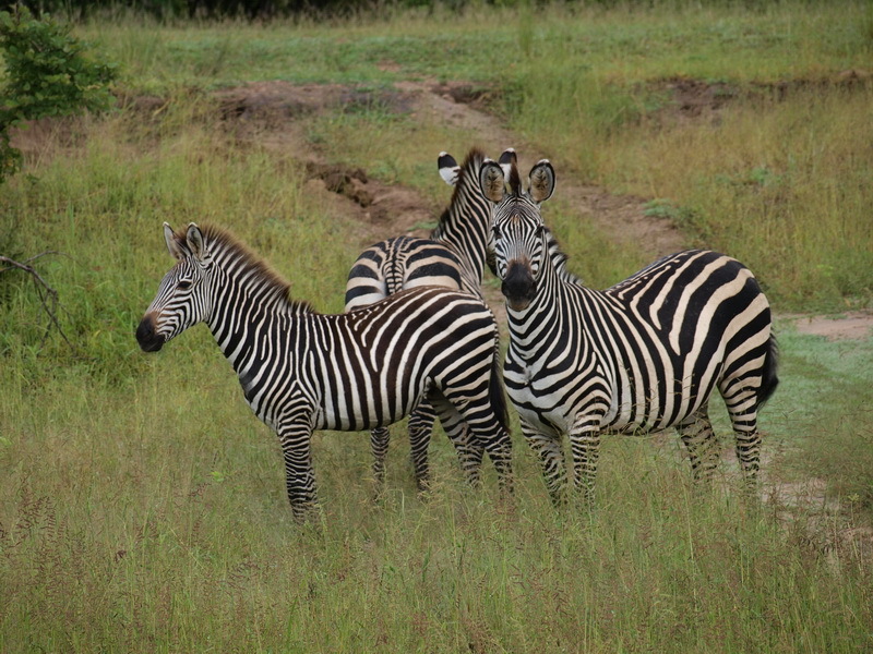 Zebras, South Luangwa National Park
