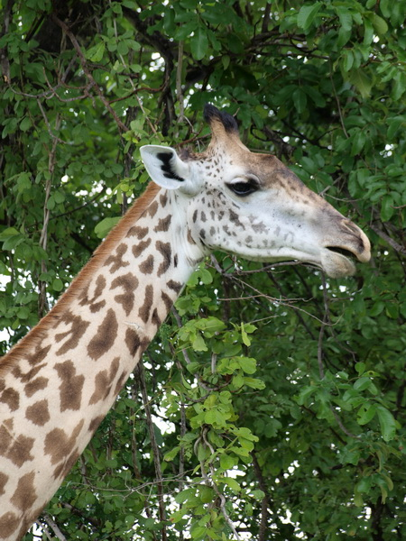 Giraffe, South Luangwa National Park