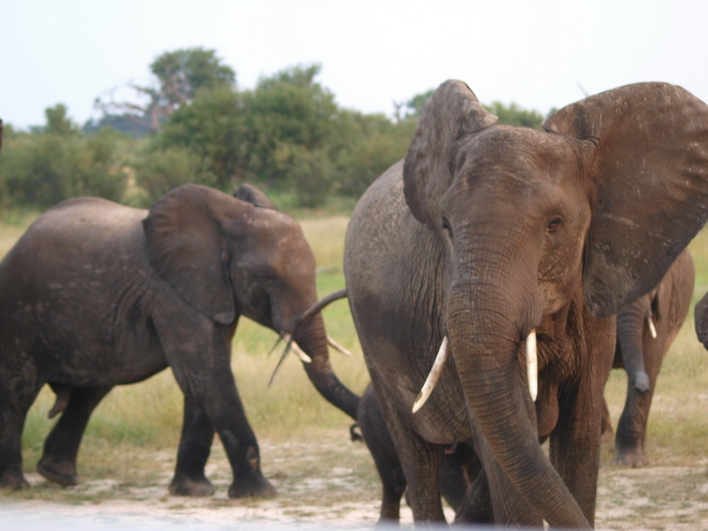Elephants, Hwange Concession Area
