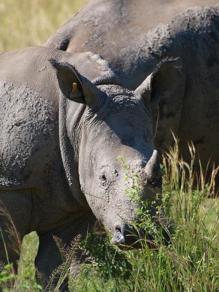 White Rhino, Matobo Game Park
