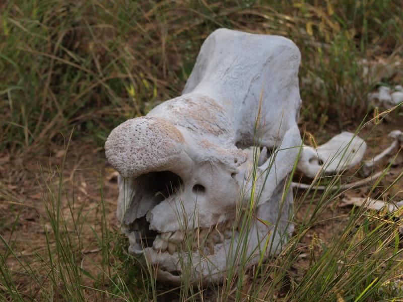 White Rhino skull, Matobo Game Park