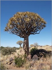 Quiver Tree Forest, Keetmanshoop