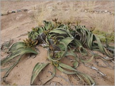 Welwitshia plant, on the Welwitschia Trail