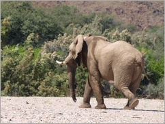 Desert elephant, driving in the Khumib and Hoarusib Rivers on the way to Purros