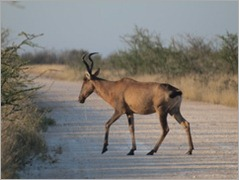 Red Hartebeest, Etosha National Park