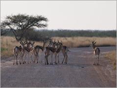 Springbok, Etosha National Park