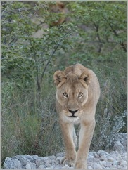 Lion, Etosha National Park