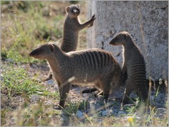 Banded Mongoose, Etosha National Park