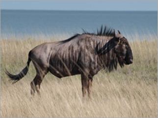 Wildebeest, Etosha National Park