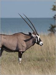 Gemsbok, Etosha National Park