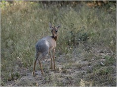 Dik Dik, Etosha National Park