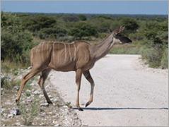Kudu, Etosha National Park
