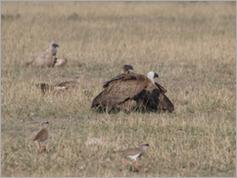 Vultures, Central Kalahari
