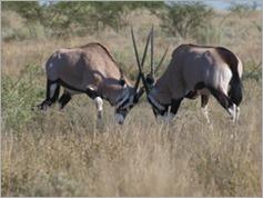 Gemsbok, Central Kalahari