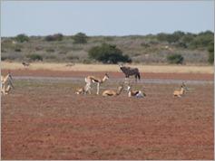Springboks, Central Kalahari